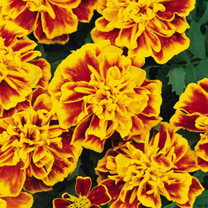 Bonanza Bee Marigold Seeds - French Crested