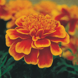 Bonanza Flame Marigold Seeds - French Crested