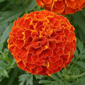 Zenith Red Marigold Seeds - Triploid