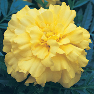 Zenith Lemon Yellow Marigold Seeds - Triploid