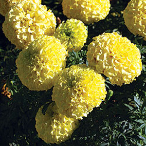 First Lady Yellow Marigold Seeds - African American
