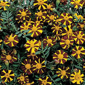 Mr. Majestic Marigold Seeds-Single French