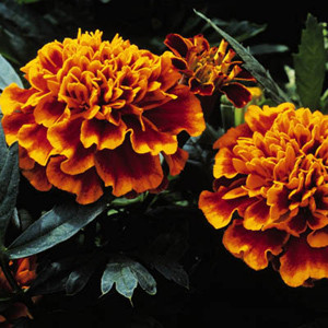 Janie Flame Marigold Seeds French Crested
