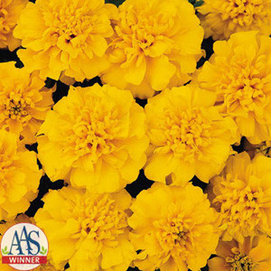 Janie Gold Marigold Seeds French Crested