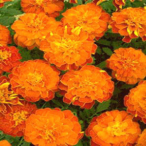 Janie Tangerine Marigold Seeds French Crested