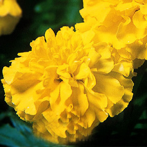 Janie Primrose Marigold Seeds-French Crested