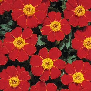 Disco Red Marigold Seeds -French Single