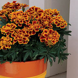 Durango Flame Marigold Seeds -French Anemone