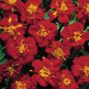 Safari Red Marigold Seeds -French Anemone