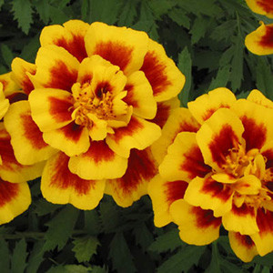 Safari Yellow FIre Marigold Seeds -French Anemone