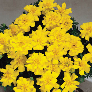 Safari Yellow Marigold Seeds-French Anemone