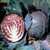 Organic Cabbage Seeds, Red Express