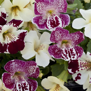 Mimulus Magic Mix Spring Blossom