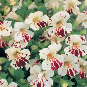 Mimulus Magic White Blotch