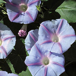 Blue Star Morning Glory