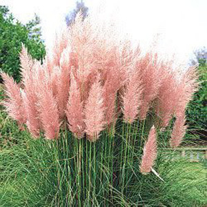 Pink Feather Pampus Grass