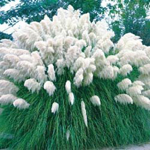 White Feather Pampus Grass