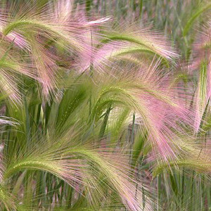 Foxtail Barley-Squirrel Tail Grass