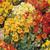 Alaska Mix Nasturtium