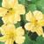 Whirlybird Cream Nasturtium