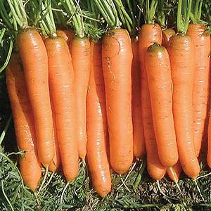Organic Carrot Seeds, Yaya
