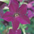 Perfume Deep Purple Nicotiana