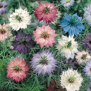 Love In a Mist- Nigella Persian Jewells Mix
