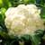Snowball Y Improved Cauliflower
