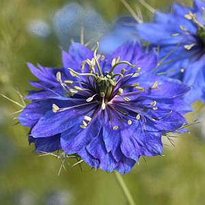 Love In a Mist- Nigella Miss Jekyll Dark Blue