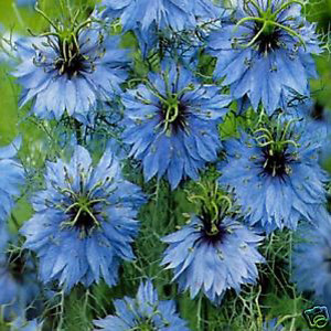 Love In a Mist- Nigella Miss Jekyll Sky Blue
