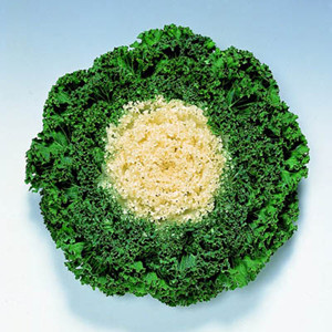 Ornamental Kale Chidori White