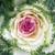 Ornamental Kale Crane Bicolor