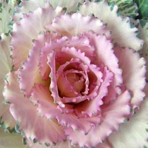 Ornamental Kale Crane Pink