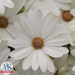Akila® White Osteospermum