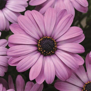 Akila® Lavender Shades Osteospermum