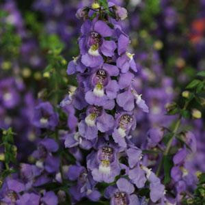 Angelonia Serena Blue Seeds