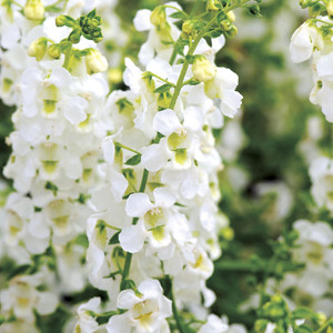 Angelonia Serena White