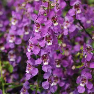 Angelonia Serena Purple Seeds