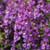 Angelonia Serena Purple Seeds