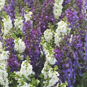 Angelonia Serena Waterfall Mix Seeds