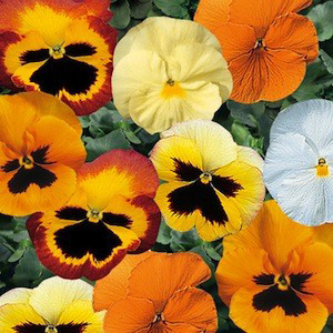 Delta™ Premium Pumpkin Pie Mix Pansy