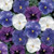 Delta™ Premium Cool Water Mix Pansy