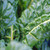 Organic Swiss Chard Seeds, Giant Fordhook