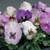 Delta™ Premium Purple Medley Pansy