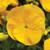 Delta™ Premium Pure Golden Yellow Pansy