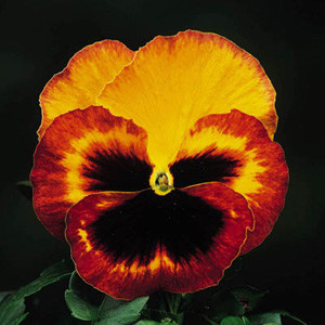 Delta™Fire Pansy