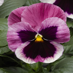 Karma™Pink Shades with Blotch Pansy