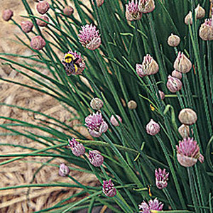 Organic Chives Onion
