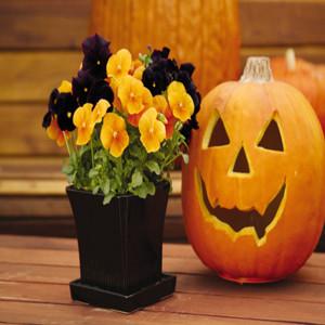 Panola XP® Halloween Mix Pansy