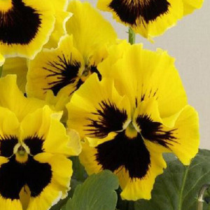 Bolero Golden Pansy